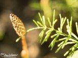 Horsetail, (Equisetum spp.), Creamers Field, Fairbanks, Alaska