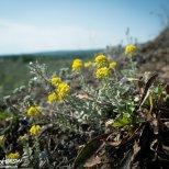 American Madwort (Alyssum obovatum), Porcupine River, Gates of the Arctic NWR, Alaska
