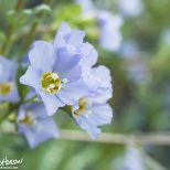 Northern Jacob's Ladder (Polemonium boreale), Porcupine River, Gates of the Arctic NWR, Alaska