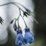 Bluebell (Mertensia spp), Fairbanks, Alaska