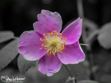 Wild Rose (Rosa spp), Fairbanks, Alaska
