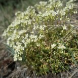 Prickley Saxifrage (Saxifraga tricuspidata), Denali National Park, Alaska