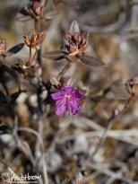 Lapland Rosebay (Rhododendron lapponicum), Denali National Park, Alaska