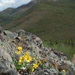 Arinca (perhaps Frigid Arnica), Denali National Park, Alaska