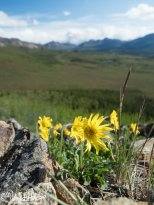 Arinca (perhaps Frigid Arnica), Denali National Park, Alaska