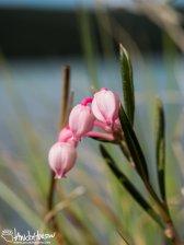 Bog Rosemary (Andromeda polifolia), Denali National Park, Alaska