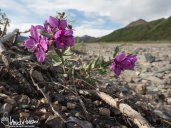 Dwarf Fireweed/River Beauty (Chamerion latifolium), Denali National Park, Alaska