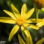 Frigid Arnica (Arnica frigida), Dalton Highway/Haul Road, Finger Mountain, Alaska