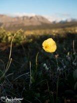 Arctic Poppy/Alaska Poppy (Papaver gorodkovii), Galbraith Lake, North Slope, Alaska