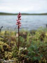 Lesser Wintergreen (Pyrola minor), Denali Highway, Alaska