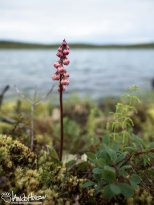 Lesser Wintergreen (Pyrola minor), Denali Highway, Alaska