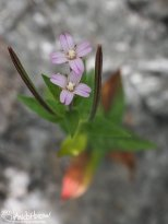 Willow Herb, (Epilobium spp), Homer, Alaska