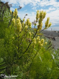 Yellow Paintbrush/ Coastal Paintbrush (Castilleja unalaschensis), Eagle Summit, Alaska, August