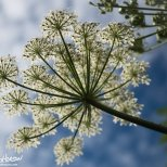 Cow Parsnip, (Heralaceum maximum), Homer, Alaska