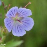 Wild Geranium (Geranium spp.), Kenai River, Alaska