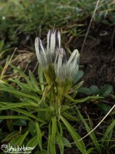 Whitish Gentian (Gentiana algida), Denali National Park, Eilson Visitor Center, Alaska