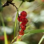 High-bush Cranberry (Vibrunum edule), Denali National Park, Alaska