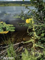 Mastadon Flower (Tephroseris palustris), Denali National Park, Alaska