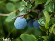 Blueberry (Vaccinium spp), Denali National Park, Alaska
