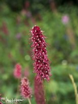 Red Burnet (Sanguisorba officinalis), Denali National Park, Alaska