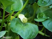 Wild Calla/Water Arum, Water Dragon ( Calla palustris), Creamers Field, Fairbanks, Alaska