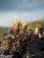 Yellow Paintbrush/ Coastal Paintbrush (Castilleja unalaschensis), Eagle Summit, Alaska, August