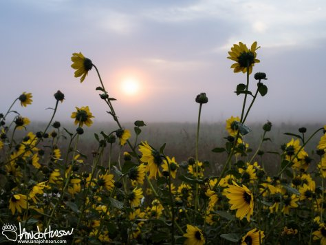Misty Sunrise and Black-eyed Susans (Rudbeckia hirta)