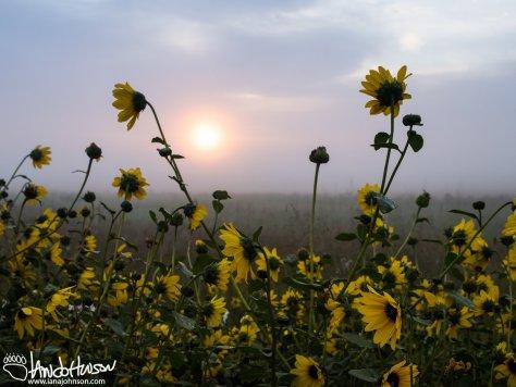 Misty Sunrise and Black-eyed Susans (Rudbeckia hirta)