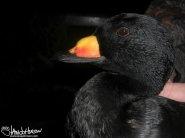 Black Scoter