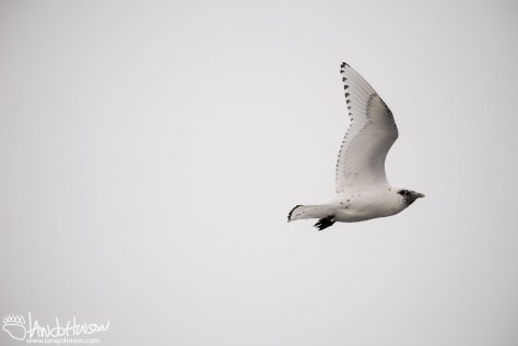 Ivory Gull, Flying, Duluth