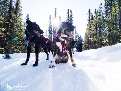 George, taking a break on the trail. Fairbanks, Alaska