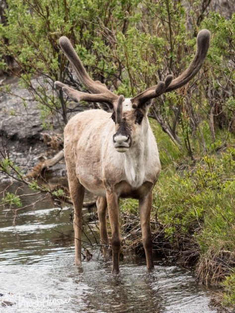 Caribou, Denali National Park