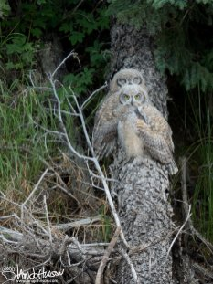 Great-horned Owl