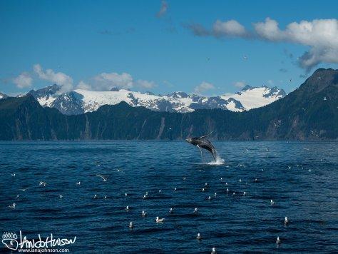 Breaching Humpback Whale, Seward, Alaska