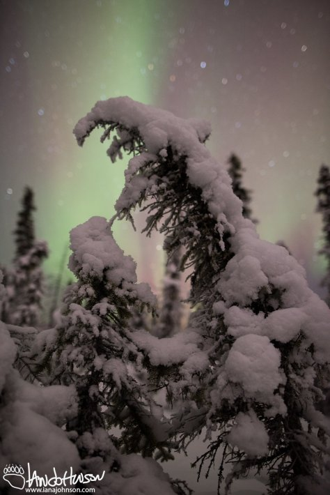 Northern Lights, Black Spruces, Bog