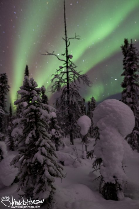 Northern Lights Black Spruce Alaska