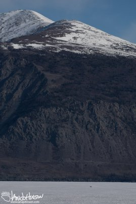 A Coyote is dwarfed by the mountains in the background of Kluane lake