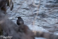 An American Dipper on an ice flow.