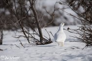 A Will Ptarmigan keeps an eye out for me.