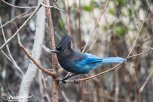 Stellar's Jay at Icy Strait Point