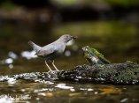 American Dipper, Alaska, Hoonah