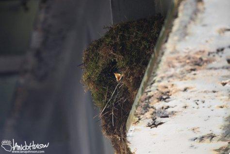 Nest, American Dipper, Alaska, Hoonah