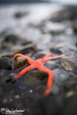 A bold, red starfish is trapped along the waterline in Hoonah, Alaska.