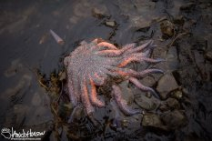 This sunflower seastar reaches about 30 inches from tip to tip.