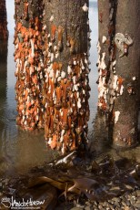 In the low tide, anemones hang from dock pilings like old bubble gum on a wall.