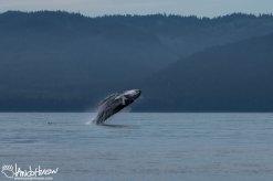 A mature humpback whale breaches in Hoonah, Alaska.