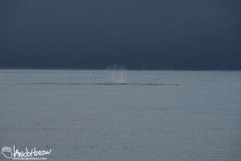 Humpback Whale Pec Slap