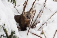 Pine Marten, American Pine Marten, Chichagof Island, Hoonah, Southeast Alaska, Martes americana