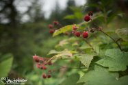 Thimbleberries.