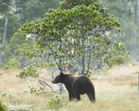 Brown Bear, Southeast, Alaska, Hoonah